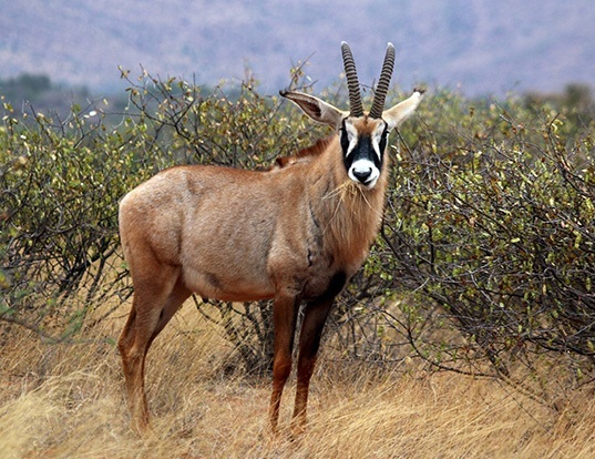 Picture of a roan antelope (Hippotragus equinus)