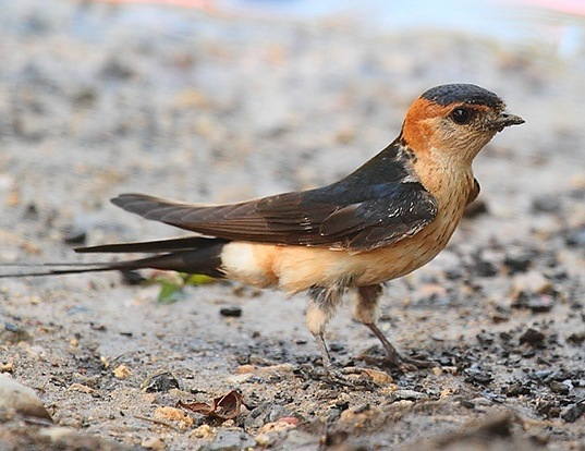Picture of a red-rumped swallow (Hirundo daurica)