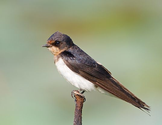 Picture of a barn swallow (Hirundo rustica)