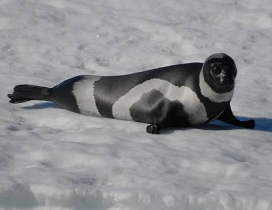 Picture of a ribbon seal (Histriophoca fasciata)