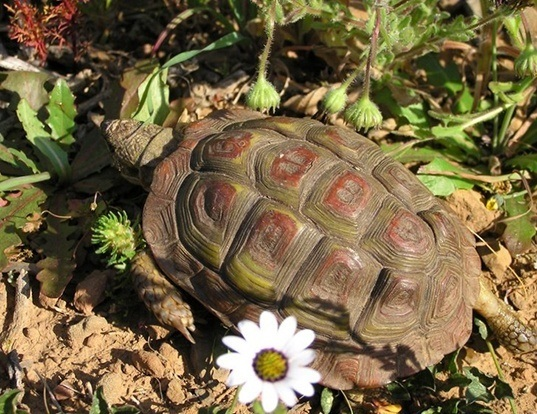 Picture of a parrot-beaked tortoise (Homopus areolatus)