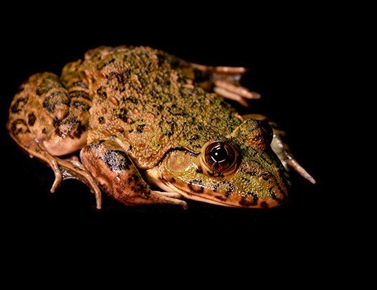 Picture of a african groove-crowned frog (Hoplobatrachus occipitalis)