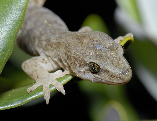 Picture of a spotted sticky-toed gecko (Hoplodactylus maculatus)