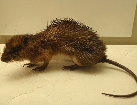 Picture of a armored rat (Hoplomys gymnurus)