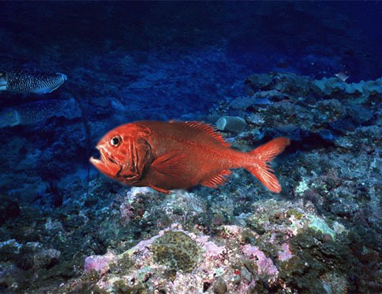 Picture of a orange roughy (Hoplostethus atlanticus)