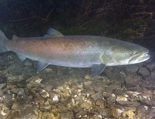 Picture of a danube salmon (Hucho hucho)