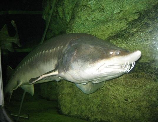 Kaluga life expectancy for White amur fish