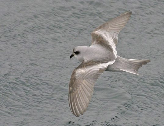 Picture of a fork-tailed storm petrel (Hydrobates furcatus)
