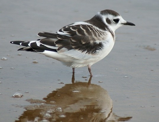 Picture of a little gull (Hydrocoloeus minutus)