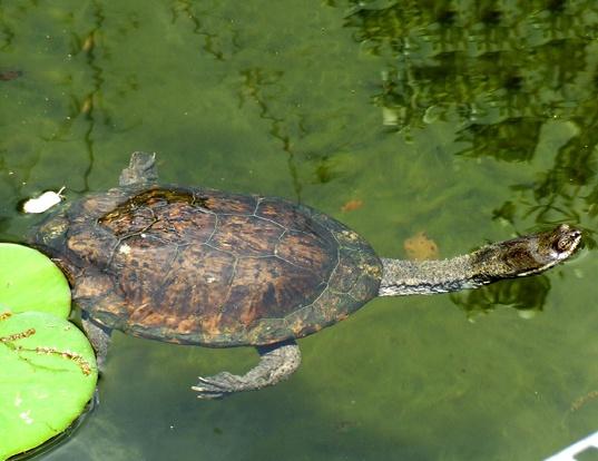 Picture of a s. american snakeneck turtle (Hydromedusa tectifera)
