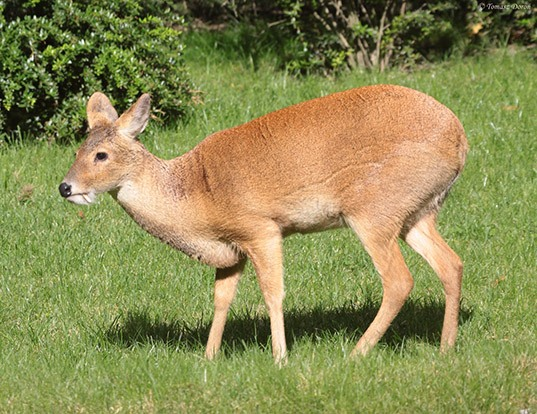 Picture of a water deer (Hydropotes inermis)