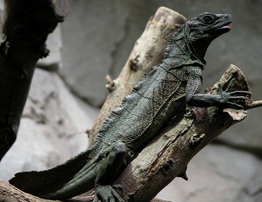 Picture of a sailfin lizard (Hydrosaurus amboinensis)