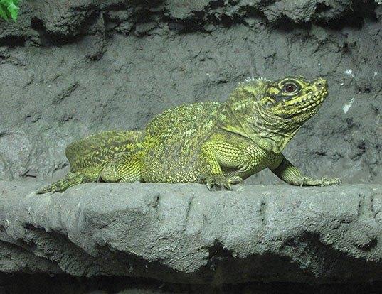 Picture of a crested lizard (Hydrosaurus pustulatus)