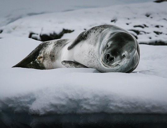 Picture of a leopard seal (Hydrurga leptonyx)