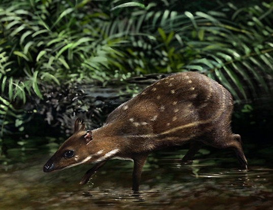 Picture of a water chevrotain (Hyemoschus aquaticus)