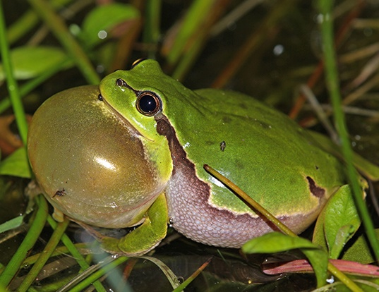 Picture of a european tree frog (Hyla arborea)