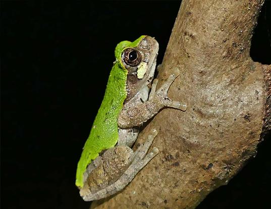 Picture of a bird-voiced treefrog (Hyla avivoca)