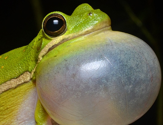Picture of a american green treefrog (Hyla cinerea)