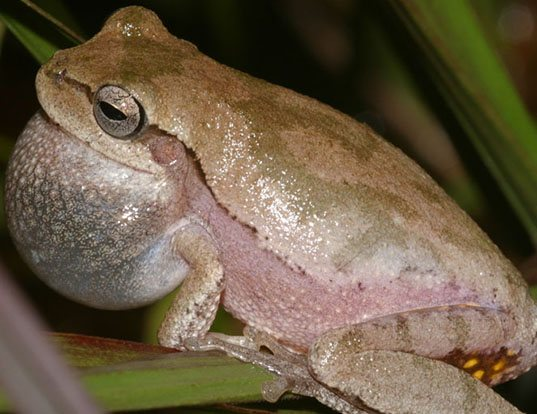Picture of a pine woods treefrog (Hyla femoralis)