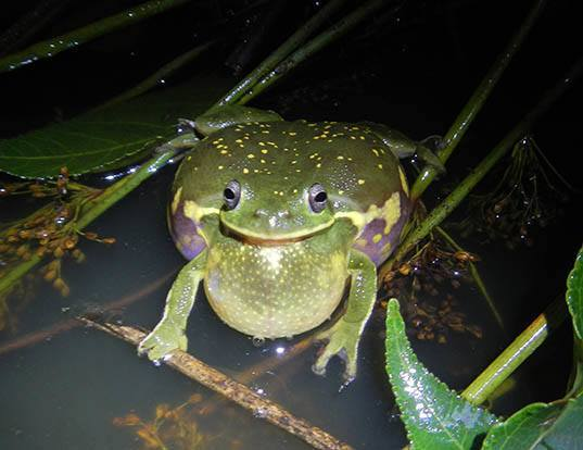 Picture of a barking treefrog (Hyla gratiosa)
