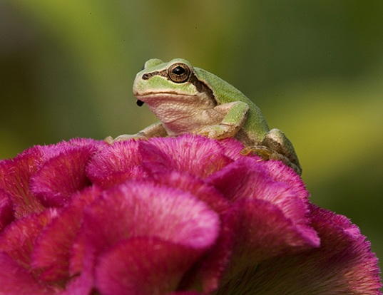 Picture of a japanese tree frog (Hyla japonica)