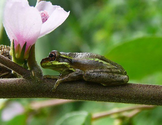 Picture of a squirrel treefrog (Hyla squirella)