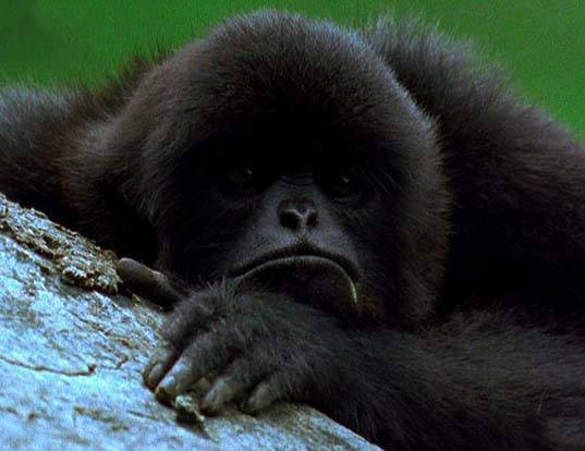 Picture of a kloss's gibbon (Hylobates klossii)