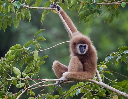 Picture of a lar gibbon (Hylobates lar)