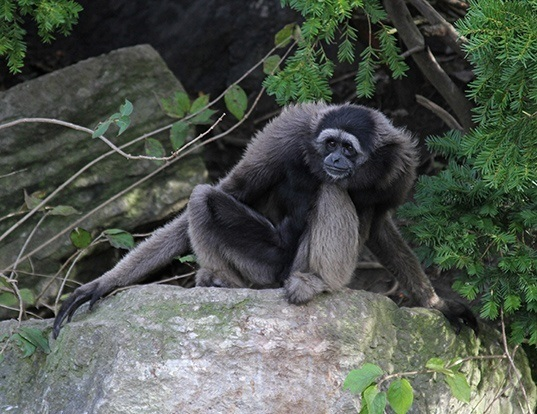 Picture of a muller's bornean gibbon (Hylobates muelleri)
