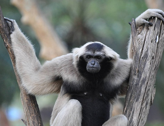 Picture of a pileated gibbon (Hylobates pileatus)