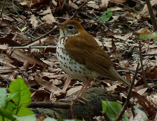 Picture of a wood thrush (Hylocichla mustelina)