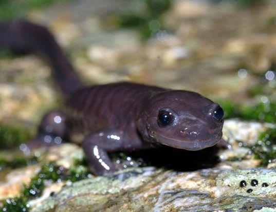 Picture of a odaigahara salamander (Hynobius boulengeri)
