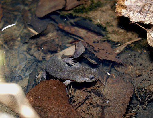 Picture of a ezo salamander (Hynobius retardatus)