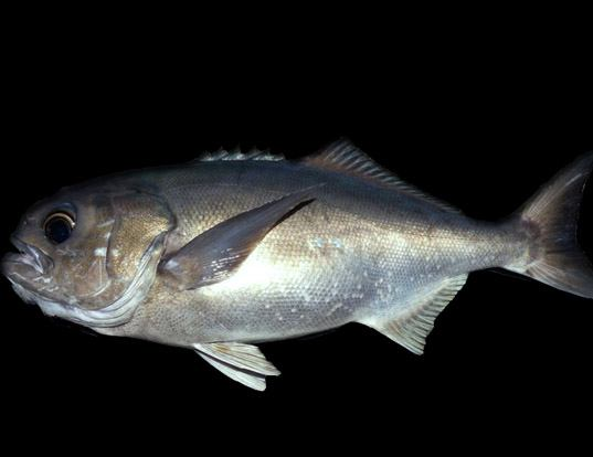 Picture of a antarctic butterfish (Hyperoglyphe antarctica)