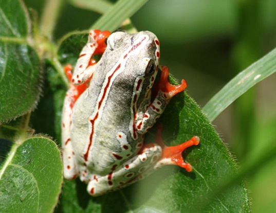 Picture of a reed frog (Hyperolius viridiflavus)