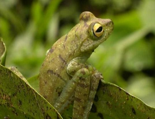Picture of a palmar treefrog (Hypsiboas pellucens)