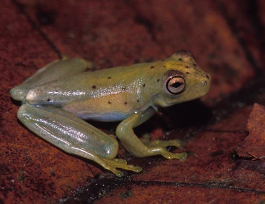 Picture of a rosenberg's treefrog (Hypsiboas rosenbergi)