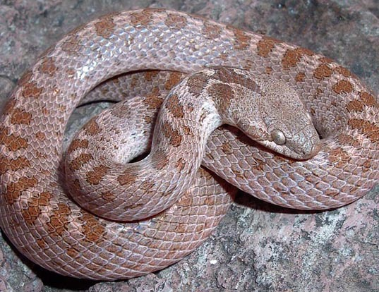 Picture of a night snake (Hypsiglena torquata)