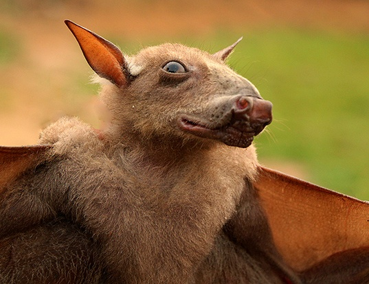 Picture of a hammer-headed fruit bat (Hypsignathus monstrosus)