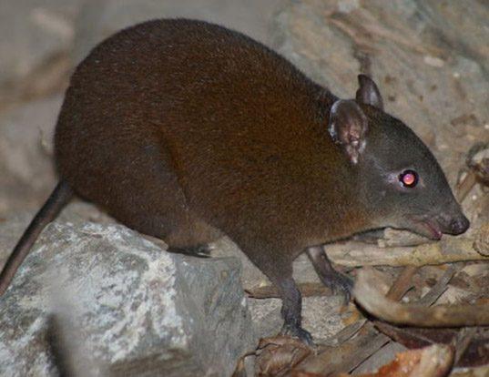 Picture of a musky rat kangaroo (Hypsiprymnodon moschatus)