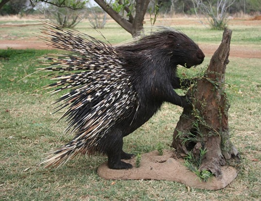 Picture of a cape porcupine (Hystrix africaeaustralis)