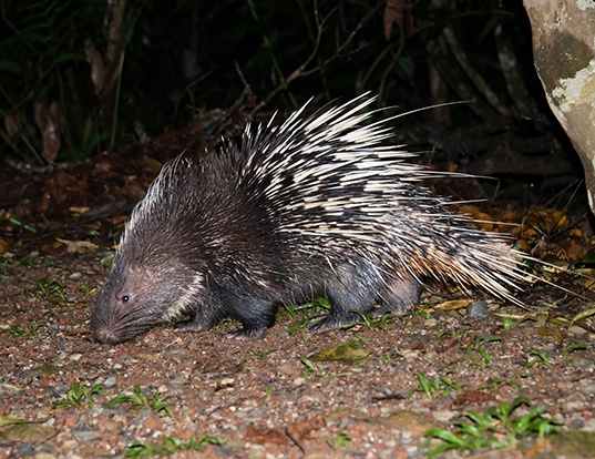 Picture of a malayan porcupine (Hystrix brachyura)