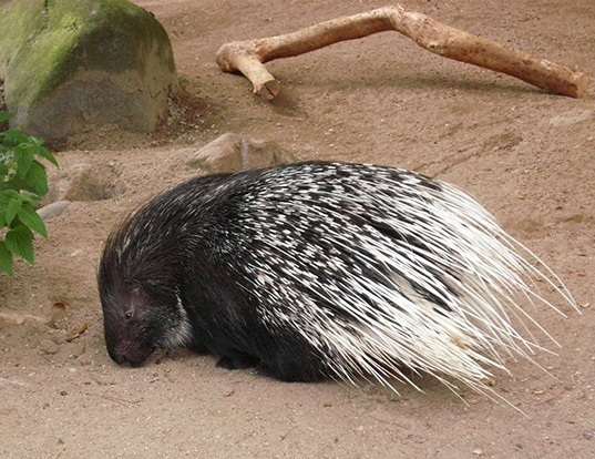 Picture of a african porcupine (Hystrix cristata)