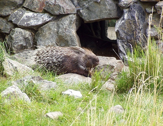 Picture of a indian crested porcupine (Hystrix indica)