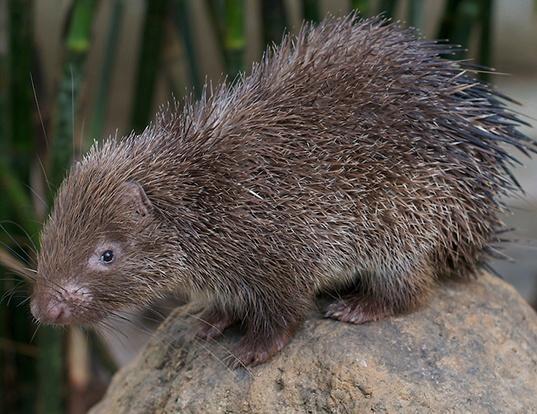 Picture of a phillipine porcupine (Hystrix pumila)