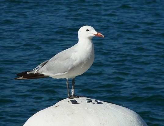 Picture of a audouin's gull (Ichthyaetus audouinii)