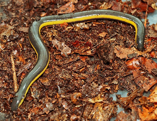 Picture of a koa tao island caecilian (Ichthyophis kohtaoensis)