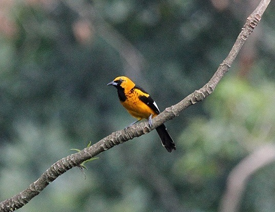 Picture of a spot-breasted oriole (Icterus pectoralis)