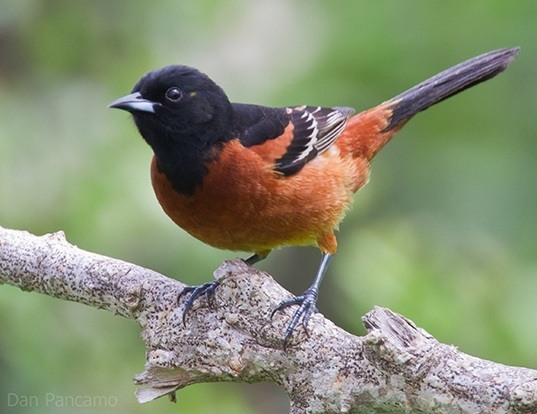 Picture of a orchard oriole (Icterus spurius)