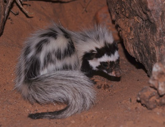 Picture of a libyan striped weasel (Ictonyx libyca)
